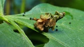 comestível : The Common Bag Moth, caterpillar larvae protect for body by construct cases of leaf.