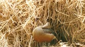 teal : Lesser Whistling Duck (Dendrocygna javanica) in nest, use straw to nest. Stock Footage