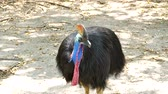 struś : Cassowary is the largest bird, have native to Papua New Guinea, Indonesia and northeastern Australia. Wideo