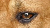 eye strain : Close up eye of brown dog. Stock Footage