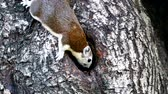 finding : Squirrels (Callosciurus erythraeus) are searching for something in the tree hollow. Stock Footage