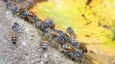 laborious : Dozens of striped bees crowd eating minerals along the pond in tropical rain forest.