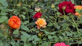 aveludado : Zoom in orange rose blossom in flower field. nature backgrounds.