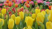 aveludado : Panning shot of yellow tulips flower in flower field. Nature backgrounds. Vídeos