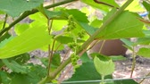 виноградник : Grapes flower, flowering began after 2 month the last harvest. Dolly shot.