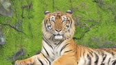 Indochinese tiger was yawning on rock background, filled with moss, in tropical rain forest.