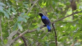 zoologia : Asian Fairy Bluebird bird (Irena puella Latham) on branch in tropical rain forest.