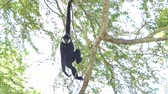 White Cheeked Gibbon on tree in tropical rain forest.