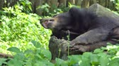 Young Asian Black Bear sleeping in tropical rainforest.