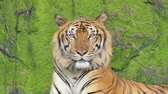 кошка : Indochinese tiger in topical rain forest.