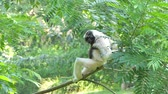 çevik : Pileated Gibbon (Hylobates pileatus) on tree in topical rain forest.