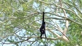 White Cheeked Gibbon on tree in tropical rainforest.