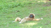 çevik : White Handed Gibbon (Hylobates lar) take a rest on greensward in tropical rain forest. Stok Video