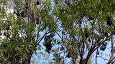 Lyles flying fox (Pteropus lylei) on a tree, animal backgrounds.