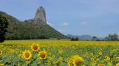 Sunflowers growing in field, agriculture industry, at rural of Thailand.