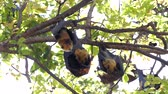 sopa : Lyles flying fox (Pteropus lylei) on a tree, animal backgrounds.