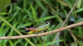 fisiologia : Rice Grasshopper (Hieroglyphus banian) on branch in tropical rain forest.