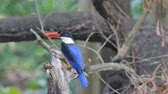 eisvogel : Black-capped Kingfisher bird (Halcyon pileata) catch insects in tropical rain forest.