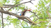 eisvogel : White-throated Kingfisher (Halcyon smyrnensis) on branch in tropical rainforest.
