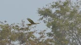 sokół : Hawk flying on sky over field and looking prey. slow motion