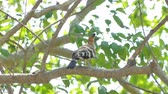 ocas : Common Hoopoe bird (Upupa epops) on branch in nature.