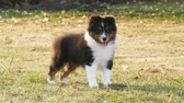 open mond : Shetland Sheepdog puppy standing on grass at the backyard.