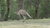 forest : 4k tracking shot of a kangaroo hopping in a forest
