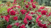 bushes of red roses in the park