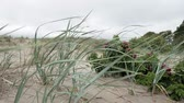 dunas : Grass on the beach in Parnu, Estonia