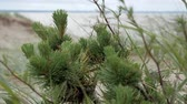 paproć : a small pine tree in the wind
