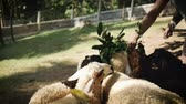 ovelha : Pack of lambs eat in farm