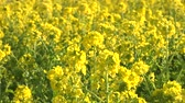 yellow : Field mustard