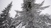 Fir tree in the snow. Wideo