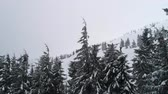Beautiful cloudy winter fir-trees
