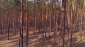 destruído : Dolly shot of pine forest