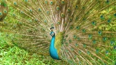 páva : Peacock with spread wings in nature