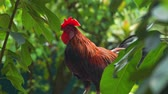 rooster in the wild Стоковые видеозаписи