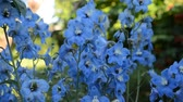 herbaceous : Delphinium, blue Stock Footage