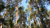 среда : the pine forest