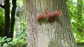 Squirrel is on the tree trunk. Стоковые видеозаписи