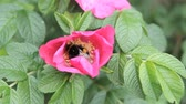 honey moon : red flower bee collects pollen