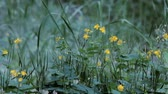 fitoterapia : Chelidonium majus. Fluffy yellow flower of greater celandine swaying blown by wind in spring.