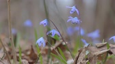 perce neige : Snowdrops in the Spring Forest