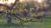 garden : The Branches of the Spring Tree Young leaves of fruit trees in the spring garden at sunset Stock Footage