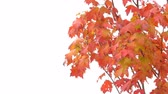 outonal : Red Leaves on the Tree Alpha channel. Red autumn leaves on a tree in the wind