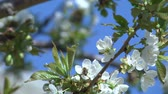 cherry blossom : Flowers of the Cherry Tree. Cherry blossom tree planting honey trees honey making honeycomb honeycomb working on a sunny day and warm weather with a blue sky Stock Footage