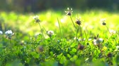 botanický : Field plants on meadows Wildflowers in the meadows wild flowers and green grass Dostupné videozáznamy