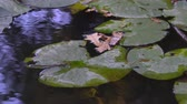 thorns : Green Lily Leaves Flowers Green lily leaves on the water surface of a forest lake Stock Footage