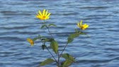 big leaf : Flowers by the lake Flowers on the background of the lake swaying in the wind Stock Footage