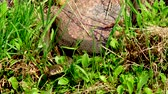 yılan : The snake in the wild after winter on a spring sunny day creeps along the grass next to the pond showing a double tongue Stok Video